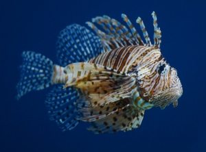 Lionfish Getty Images
