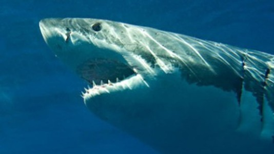 great_white_shark_0701