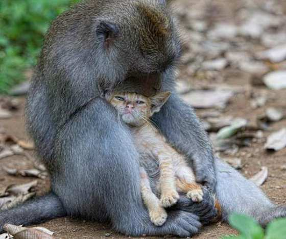 monkey-love-kitten-2