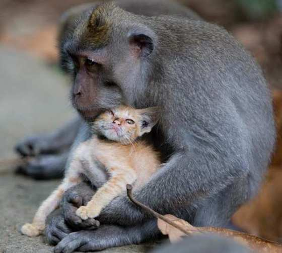 monkey-love-kitten-4