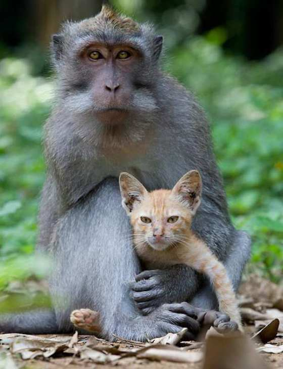 monkey-love-kitten-5