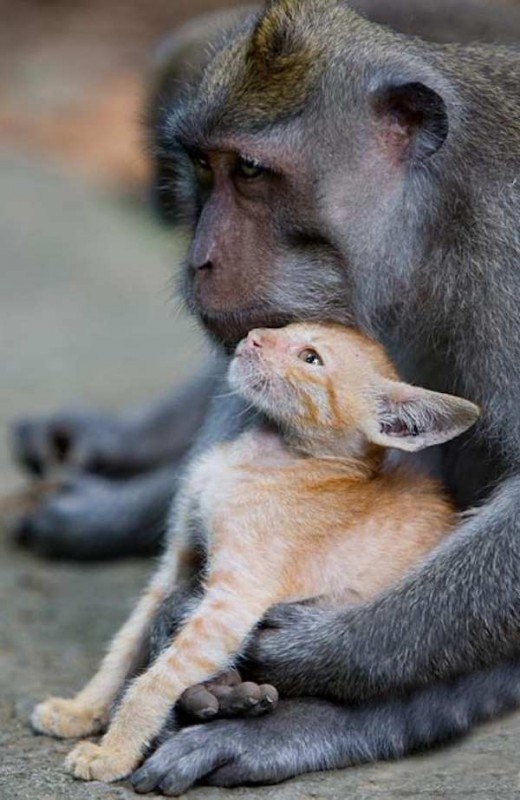 monkey-love-kitten-6-520x800