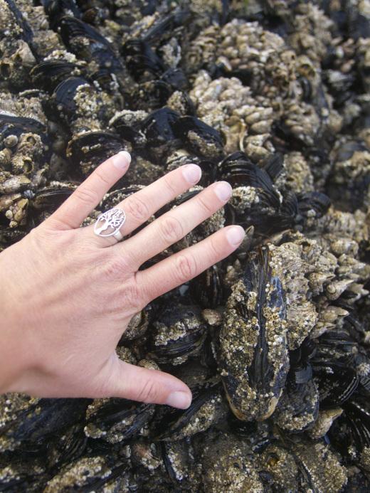 Huge mussels