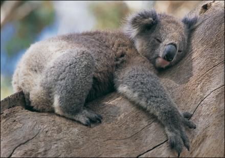 ee9af-koala_zoom