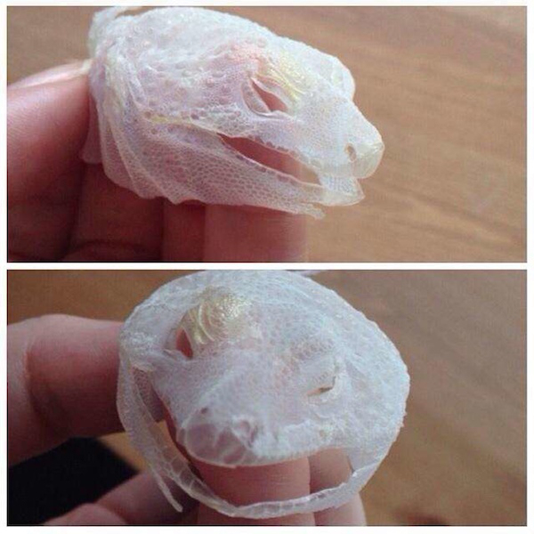 A lizard who shed his face skin in one go, retaining its exact shape.