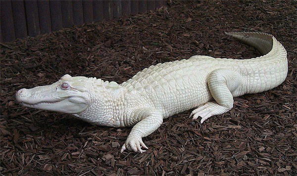 A very rare albino alligator.