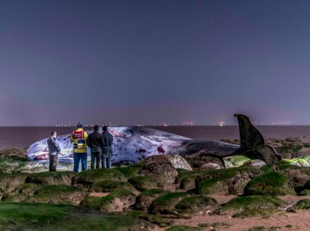 A MAGNIFICENT 30ft sperm whale has died on a Norfolk beach despite a bitter battle to save its life...The 30ft gentle giant of the deep was battered and bruised when it came to rest on the sands as its life sadly ebbed away with the tide last night (Fri)...The 20-tonne whale was one of four seen swimming off Hunstanton, north Norfolk, yesterday afternoon...Three of the pod appeared to swim away to safety but this one became stranded beneath the cliffs at the popular Victorian seaside resort...